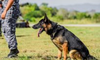Brave K9 Officer 'Titan' Shot by Suspect at Traffic Stop Is on Road to Full Recovery