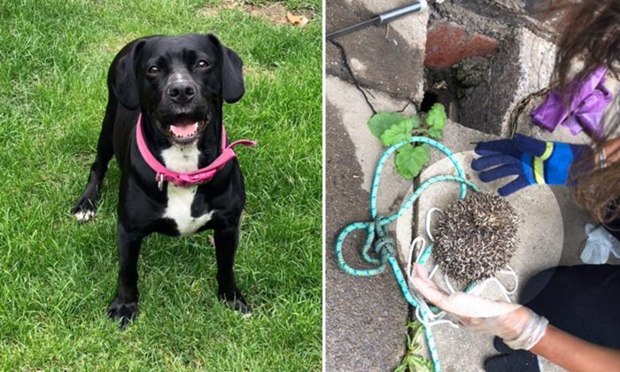 Smart Pup Spots a Prickly Creature Trapped in Drain and Quickly Calls Owner for Help