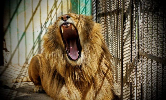 File photo of a lion in captivity. (Barett71/Pixabay)