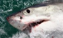 Great White Shark Near Boat Caught on 'Crazy' Video