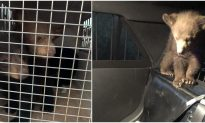 Arizona Troopers Rescue 3 Black Bear Cubs After Mother Killed in Crash