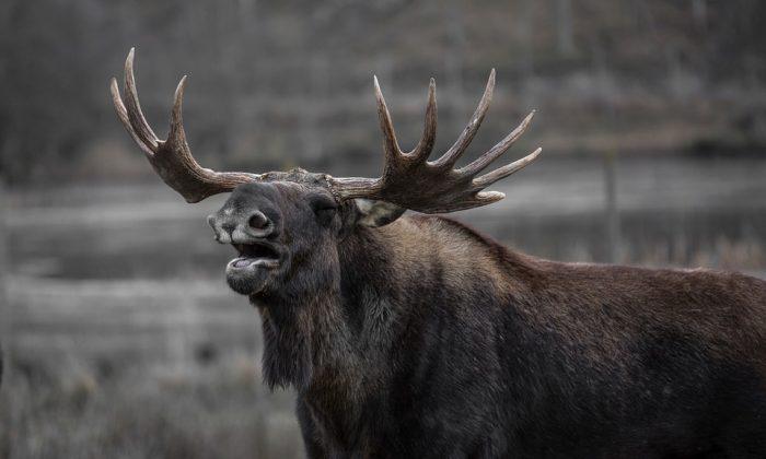 Image of a Moose. (Pixabay)