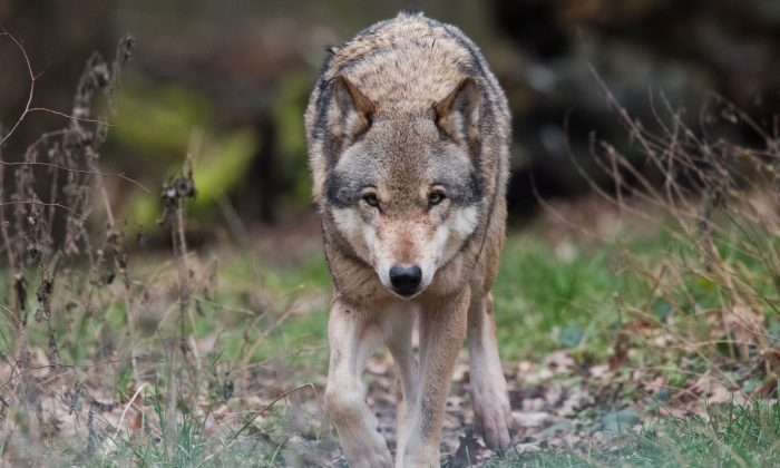 The wolf was determined not to kill any more humans but rather to do good deeds. (JULIAN STRATENSCHULTE/AFP/Getty Images)