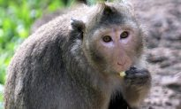 Monkey Shot Under the Right Eye With Harpoon Gun, Then One Lady Helps It Escape Death