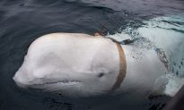 Canadian Military Unfazed by 'Fishy' Beluga Whale Suspected of Spying for Russia