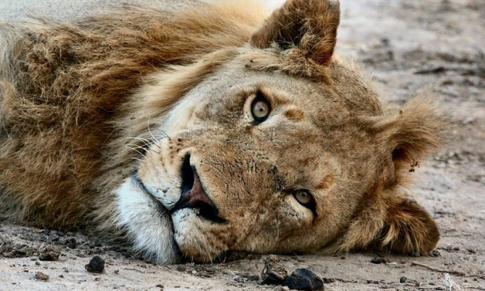 Stock image of a lion resting in an enclosure. (Pexels/Pixabay)