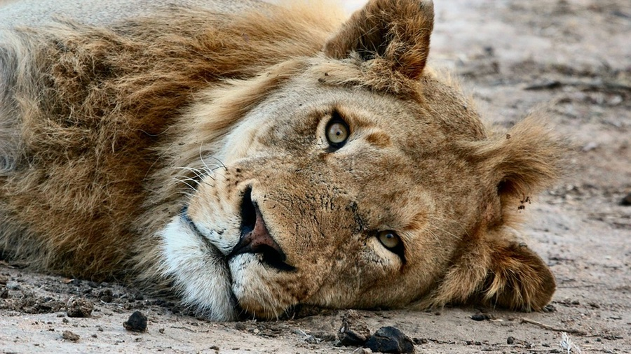 2 Lions Maul 24-Year-Old in Zoo, Man Heroically Jumps In to Save Him - The Epoch Times