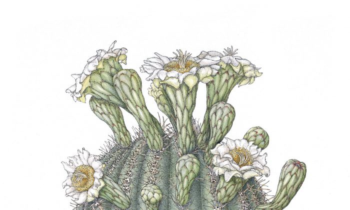 """Saguaro (Carnegiea gigantea),"" by Joan McGann. Ink and watercolor on paper,18 inches by 12 inches. (Joan McGann)"