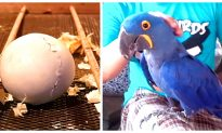 How Hyacinth Macaw Grow up From Eggs Until Fly
