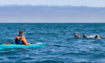 Crazy Moment As Seal 'Slaps' Kayaker Right in His Face With a Giant Octopus