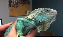 Iguana Injured After Being Swung Around By Its Tail and Thrown, Now in Protective Custody