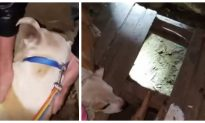 Dog Leads Woman to Her Puppies Trapped Under Floorboard