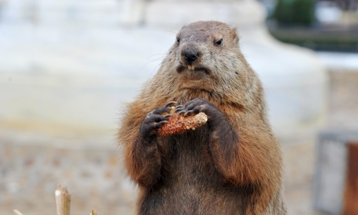 Potomac Phil, a taxidermied version of the groundhog brought out to determine whether or not he sees his shadow sits near by in Washington, on Feb. 2, 2012.  (Karen Bleier/AFP/Getty Images)