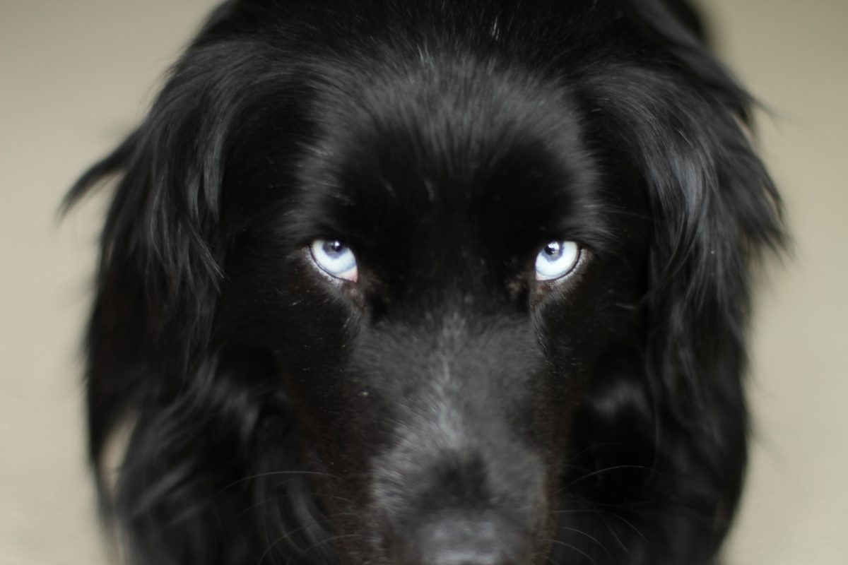 black lab blue eyes