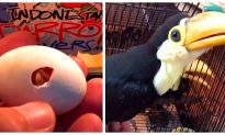 Man Saves Baby Toucan, Captures First 42 Days of Life on Video