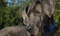 Dog Owner Discovers Great Dane She Adopted Has 28 More Teeth Than Normal