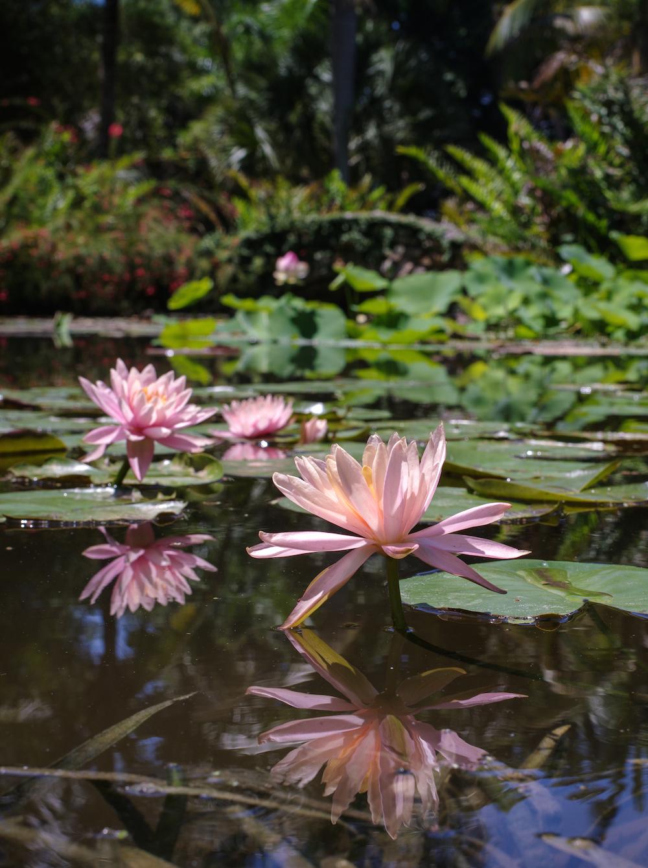 waterlilies mckee botanical gardens
