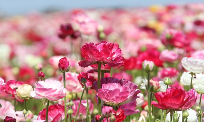 The Giant Tecolote Ranunculus flowers at The Flower Fields at Carlsbad Ranch, north of San Diego. (Courtesy of  The Flower Fields at Carlsbad Ranch)