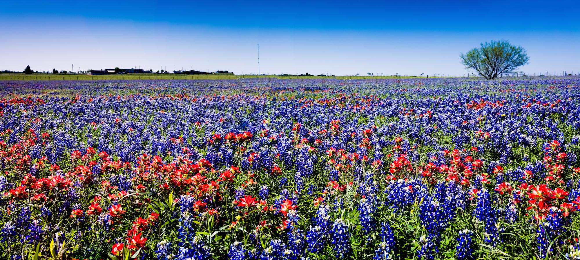 bluebonnet_Indian_paintbrush_flowers_Texas