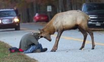 Photographer Comes Under Attack From Bull Elk