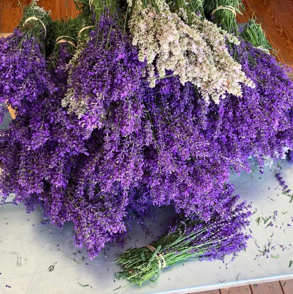 cut lavender at lavender by the bay