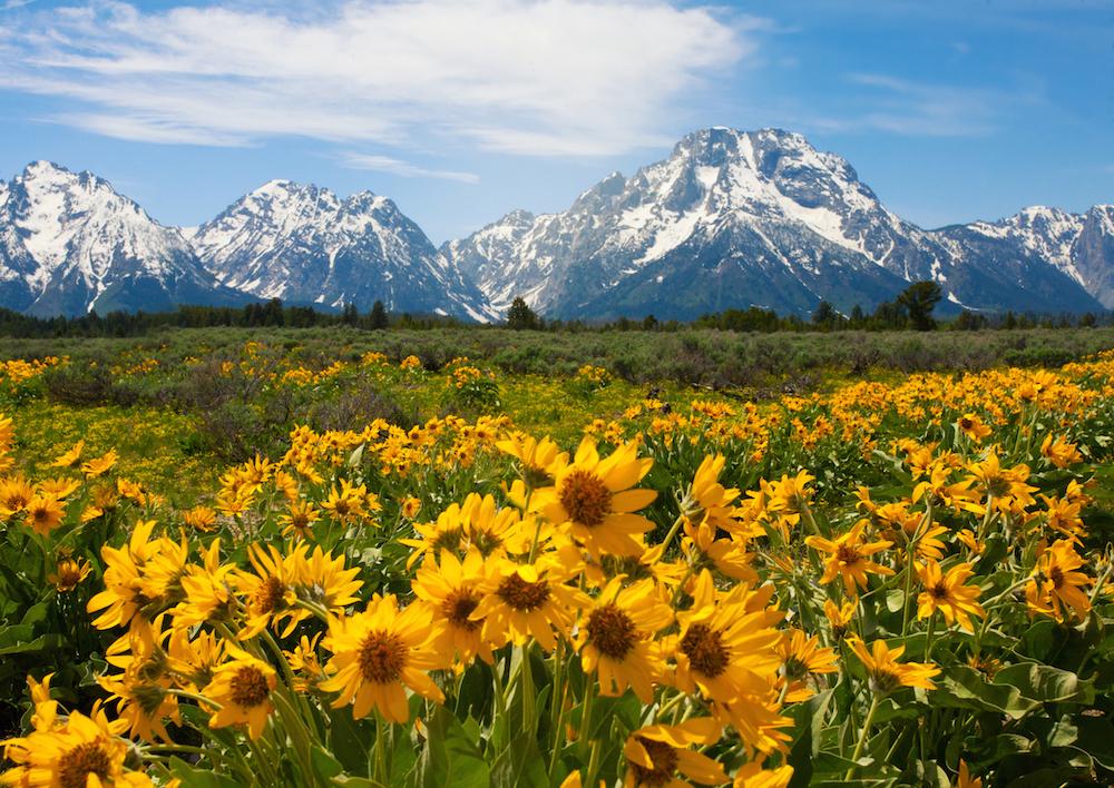 wldflowers_yellowstone