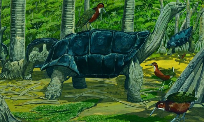 An undated artist's impression of the white-throated rail in Aldabara, the Seychelles. (Natural History Museum)