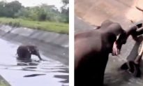 The Amazing Moment An Elephant Escapes From Canal
