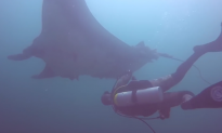 Video: Scuba Diver Saves Giant Manta Ray