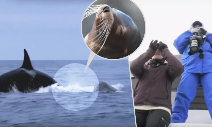Why Do Humpback Whales Protect Seals & Other Marine Animals From Hunter Orca Pods?