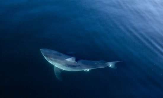 Massive 15-foot Shark Tracked for Months on Its Journey From Canada Is About to Reach New Milestone