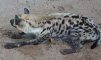 Brutally Battered Hyena Falls Into Coma, Wakes Up 8 Months Later to Find Its Life Changed