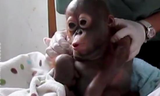 Video: Abandoned Baby Orangutan Makes Heartwarming Recovery