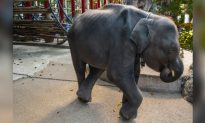 Baby Elephant Dies After He Broke His Two Legs at Thai Zoo