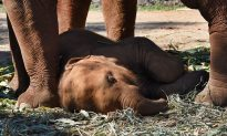 One-Year-Old Elephant Calf Tied to Its Mother Collapses With Exhaustion While Giving Rides to Tourists