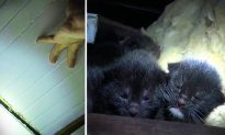 Homeowner Hears Tiny Cries Coming From Attic, Discovers a Homeless Momma Cat Gave Birth