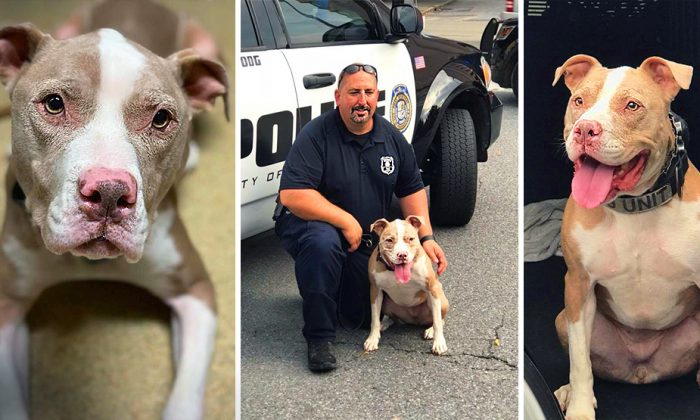 Stray Pit Bull Found in Parking Lot Becomes Spectacular K-9 Officer in NY Police Force