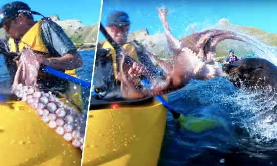 Crazy Moment As Seal Slaps Kayaker Right In His Face With A Giant Octopus