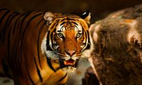 4 Poachers Hunting Tigers and Dolphins Killed in Shootout by Police
