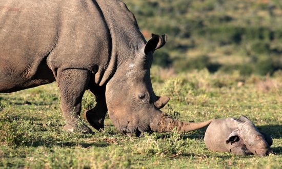 Endangered Black Rhino Calf Born at Chicago Zoo Passes 'Milestone': Now Nursing
