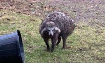 Raccoon Dogs Recaptured After Terrorizing English Village