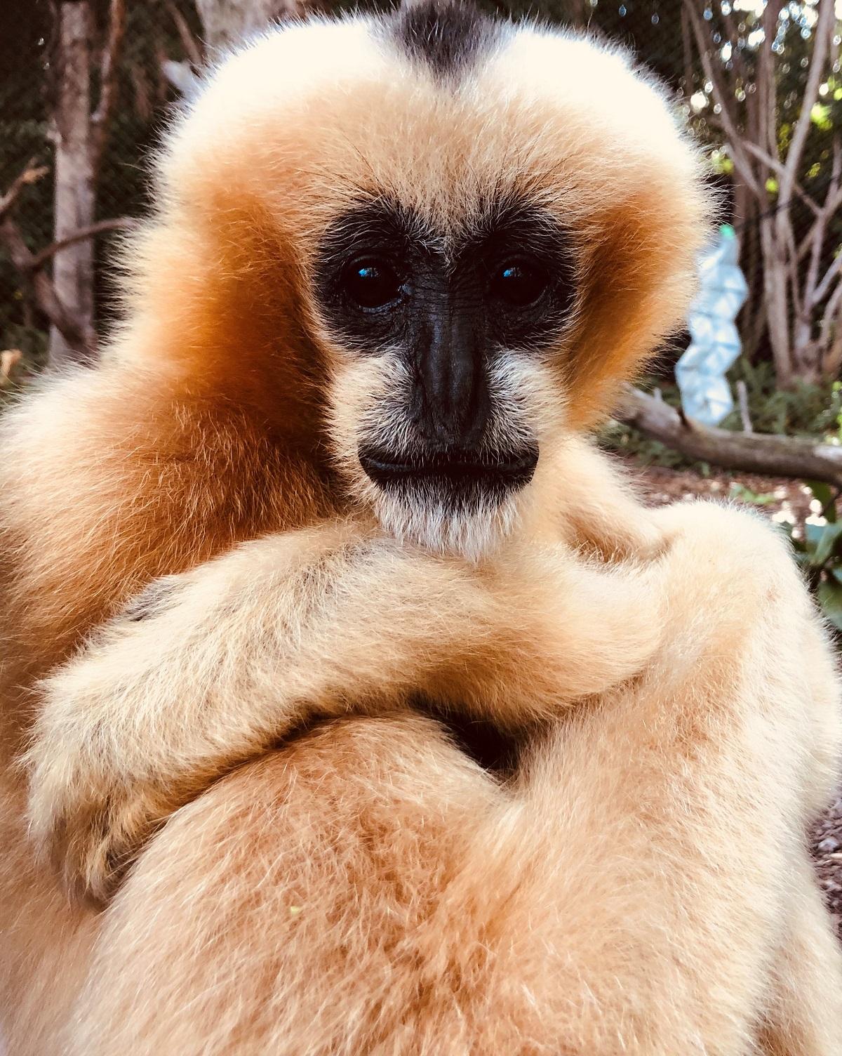 gibbon mum perth