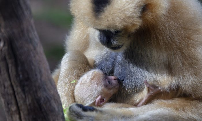A newborn white-cheeked gibbon, one of the world's rarest apes, has made its public debut at Perth Zoo before keepers have had the chance to determine its gender, on June 5, 2019. (Perth Zoo)