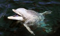 Dolphins Rescue an Exhausted Dog Drowning in Florida Canal in the Most Incredible Way