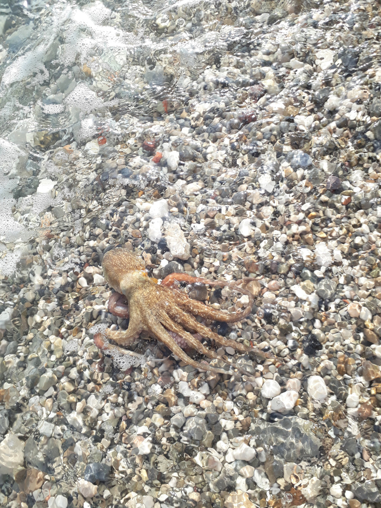 Stranded Octopus Thanks Woman for Saving Its Life Before Heading Back to Sea