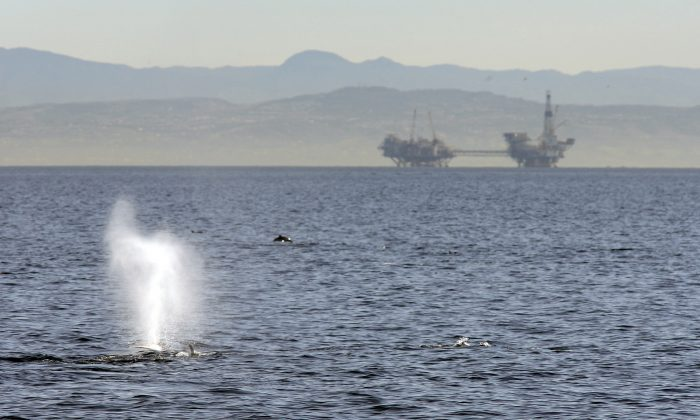 A fin whale surfaces near offshore oil rigs off the southern California coast near Long Beach, Calif., on Jan. 29, 2012. (David McNew/Getty Images)
