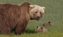 'That Cub Was so Small,' Mother Bear Bites Man After His Dog Attacked Her Cub