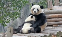 Miracle Panda Cub at Belgian Zoo Remains a Celebrity 3 Years After Birth