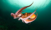 The Cutest-Ever Octopus Species the Size of Human Fist Looks Just Like Pac-Man Ghost