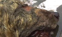 Man Finds GIANT Wolf's Head Dating Back to Woolly Mammoth Era, 40,000 Years Old